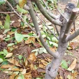 这株海棠是四月末买的,种在了外面,当时没舍得剪,五月初温度比较高,叶子全黄了,于是我把叶子剪掉只剩树枝,我想问一下,这株花还能活了么,该怎么补救啊?请各位老师指导一下,谢谢