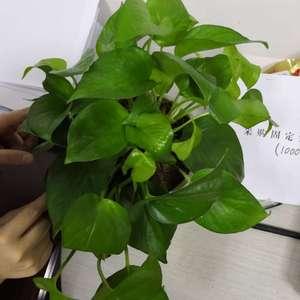 绿萝养了1个月,多次出现叶子发黄,叶片从根开始烂,叶片上出现裂缝等情况,想问问大神,这是为啥,如何改善???