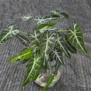小仙女盆栽水养方法,脱盆洗根后水养入盆