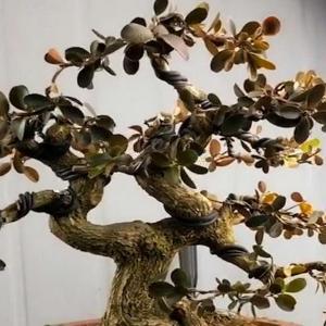 地栽黄杨的方法