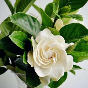 栀子花叶子发黄的四种原因与解决方法