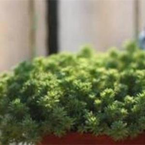 薄雪万年草的养殖方法和注意事项,枝叶过长要砍头繁殖