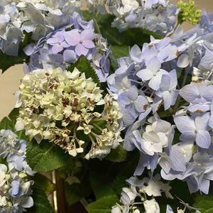 绣球无尽夏:今天出现小花苞焦边和变色,大花瓣打卷,不知道是什么原因,求助专家。