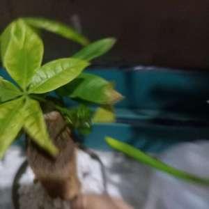 我的发财树之前长得可好了,现在枯的呀,是我浇水浇多了还是施肥问题