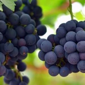 新手如何种植葡萄