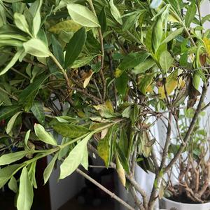坐标北方,买的满是花苞的栀子花,开始还开了两三朵,现在两个星期了,一直出现黄叶,这两天还有黑叶,花苞都要死了。每天都有浇水,缓释肥,硫酸亚铁都用了,该怎么办呀