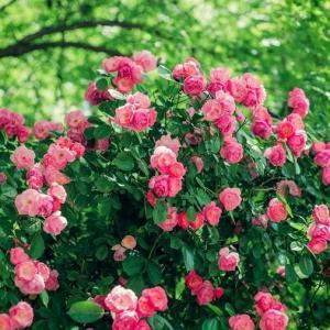 蔷薇花花期内如何养护