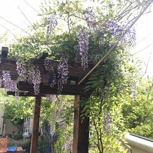 紫藤花开了