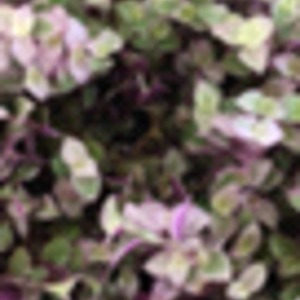 我的胭脂云底部的叶子都烂了,养胭脂云都要注意什么问题呢?