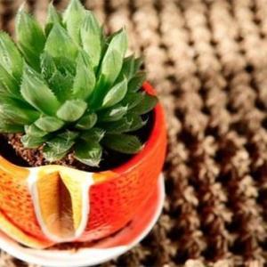水晶掌的四季养护要点,春季追施有机肥促生长