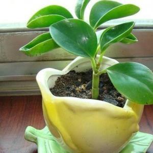 想让豆瓣绿叶子厚又亮且爆盆,那就跟我学!