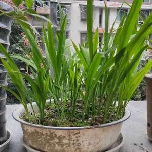 雄黄花8月,花开完以后,我把所有的叶子全部剪了,9月重新又发了新的嫩叶,有没有朋友尝试过怎样改变它的花期,让它春节开花。