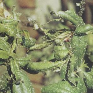 果树类虫害:桃大尾蚜