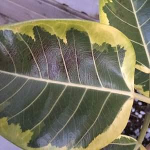 请教下我的花叶榕叶子上这个黑斑是什么问题!之前室内养护!最近拿到露台养就这样了!杭州!