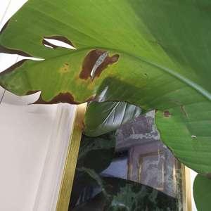 芭蕉树的叶子裂口变黑,新长出来的叶子也是这样😭。这是什么原因有救吗?