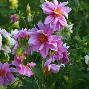 小丽花种子怎么种