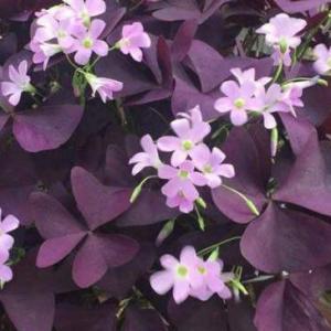 紫叶酢浆草盆栽有毒吗?
