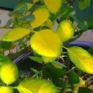 花叶发黄应该怎么办