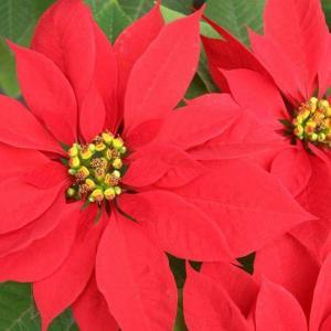 一品红掉叶子怎么办,6种原因6种处理方法