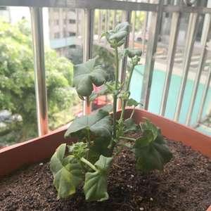 刚种植一周的天竺葵,没怎么长,要摘芯吗?谢谢