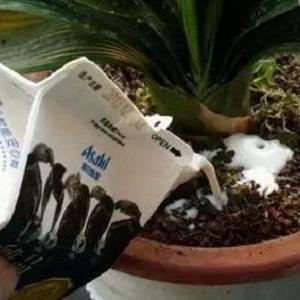 牛奶残汁能浇花吗