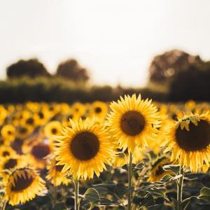 Helianthus/Sunflower & Vincent van Gogh