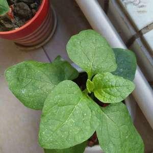 我的花上面有白点(有的是喷的番茄汁),下面有些白白的卵,还有红蜘蛛。怎么办?