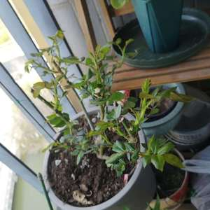 求助各位高手,春天到了,养的月季们开始冒牙怎么修剪那,才能长更多花苞