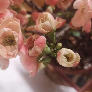 海棠花好多花苞还没开就蔫了,一碰就掉。枝子发的芽也变黑变干。是不是因为开花太多养分不够啊?