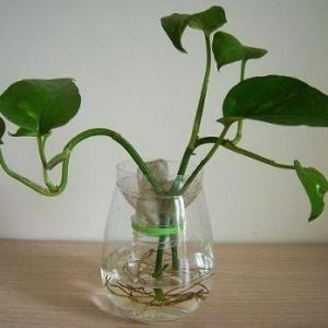 水生植物的常见问题(三)