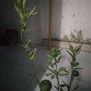 我的桔子树快干死了每天晚上浇水了也不见效,是浇水少了还是晒多了?