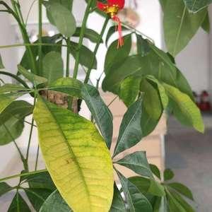 发财树叶子突然变黄,而且一碰就会掉,不知道怎么回事儿,求助