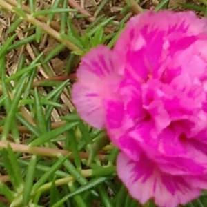 我的太阳花开花了