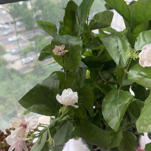 各位养花大神,为什么我的茉莉花,一碰就掉啊,还有就是花都枯萎了啊🥀