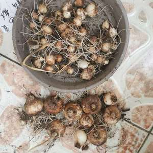 葡萄风信子据说很好复花但是我养出来的球又小又少,当初可是放了一堆下去😂