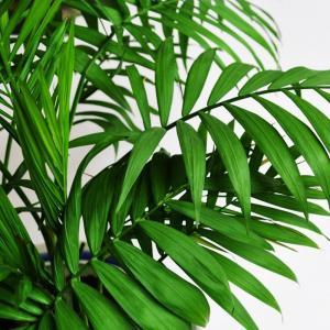 家庭养护散尾葵出现黄叶现象怎么回事呢?