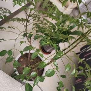 我的幸福树为啥黄叶了呢??