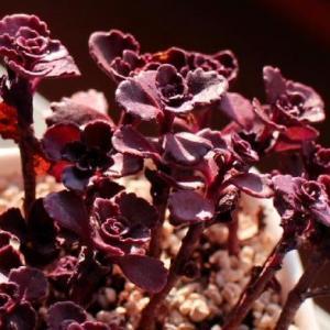 如何养殖小球玫瑰:春秋冬三季浇水可不干不浇,浇则浇透
