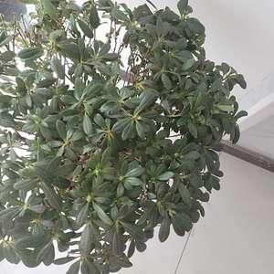 是什么品种杜鹃,叶子下垂土是湿润的,怎么才能养好开花 #杜鹃