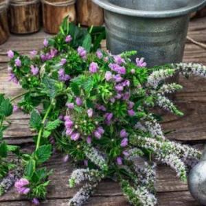 植物趣闻|古代使用的芳香植物有哪些