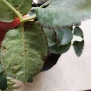 求助,月季叶片这样是什么病虫害?要用什么药呢?