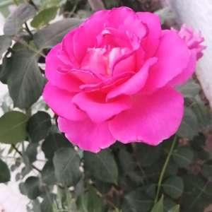 上个月开的花都是重瓣的都落了后剪枝,这几天又开了,都是很单薄的花朵,为什么