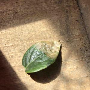 腊梅的叶子,长出来就干枯焦掉了,怎么办,冬天种下的,现在春天了,三四个月了,冬天也没开花,花骨朵都掉了