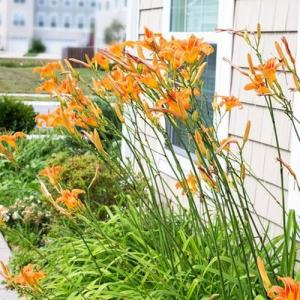 When to Transplant Day Lilies