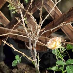 新种的藤本月季,上半部分都枯萎了,新芽也死了,该怎么办啊?