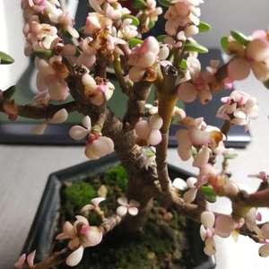 救助!买回来的金枝玉叶第2天花叶大量枯萎,该怎么办?