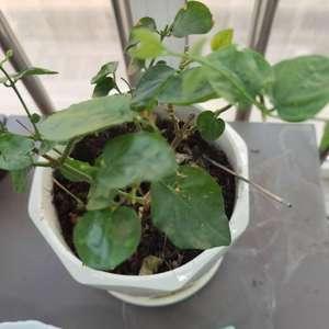 求助:茉莉花黄叶,叶面破损,是什么情况呢。另外我这盆茉莉还有其他问题吗,谢谢!