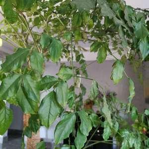 原来长的很茂盛的,最近开始不停的掉叶子,掉杆子,叶子发枯,我水也没有多浇,请教各位大神,是什么原因