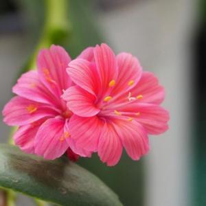 露薇花什么时候开花