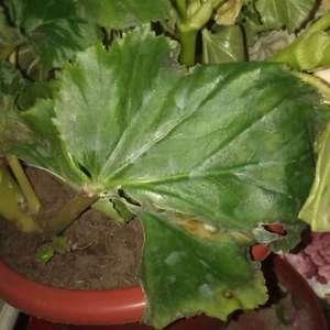 四季海棠软茎,倒伏 是什么原因,如何几觉谢谢